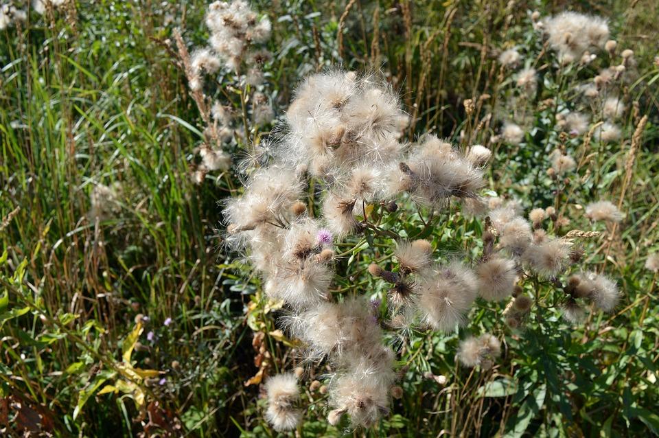 Thistle, Furry, Seeds, Plants, Flowers, White, Macro