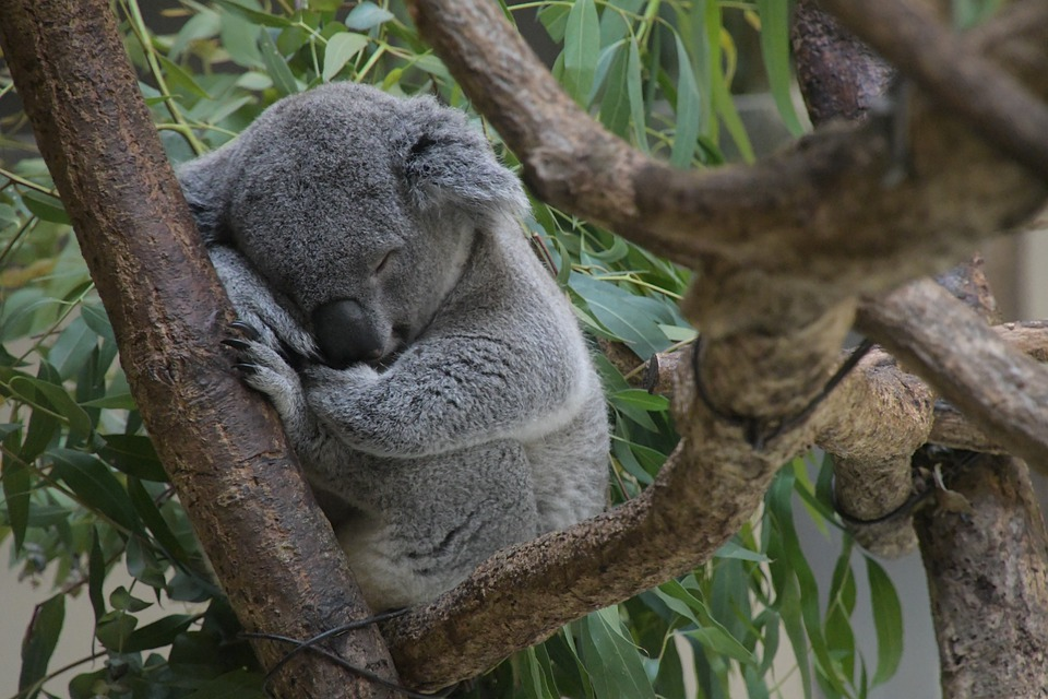 Koala, Sleep, Relax, Tree, Furry