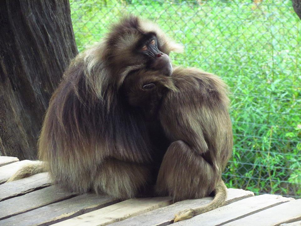 Monkey, Cuddle, Furry, Zoo, Animal, Mammal, Wild