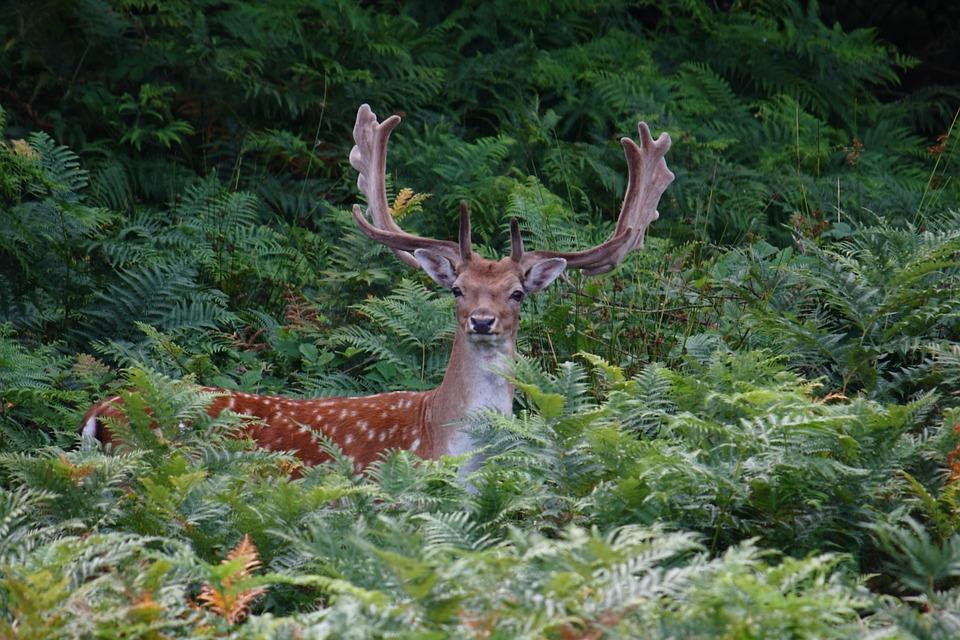 Romsø, Fyn, Expensive, Fallow Deer, Game, Natural