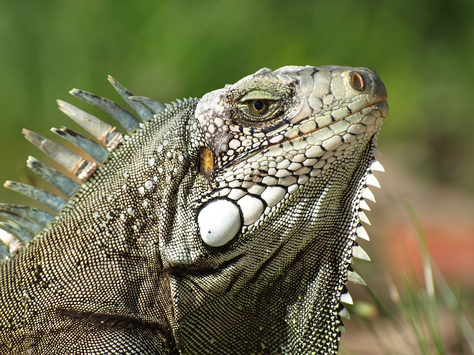 Iguana, The Lizard, Gad, The Creation Of, Lizard