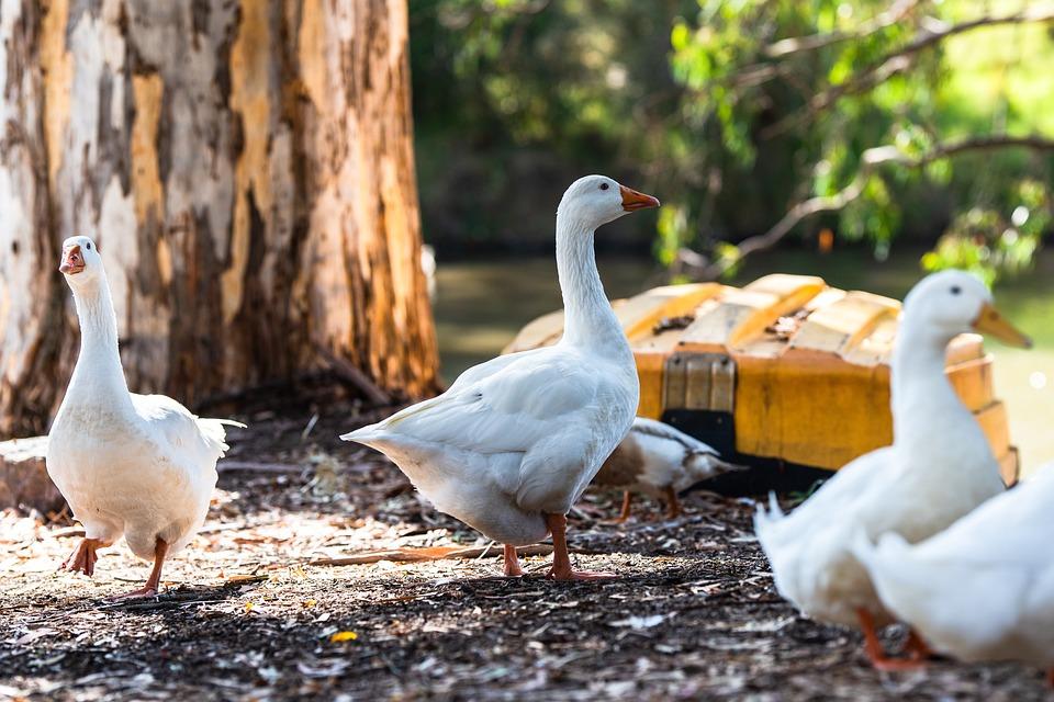 Geese, Birds, Animals, Avian, Gaggle, Flock, Waterfowl
