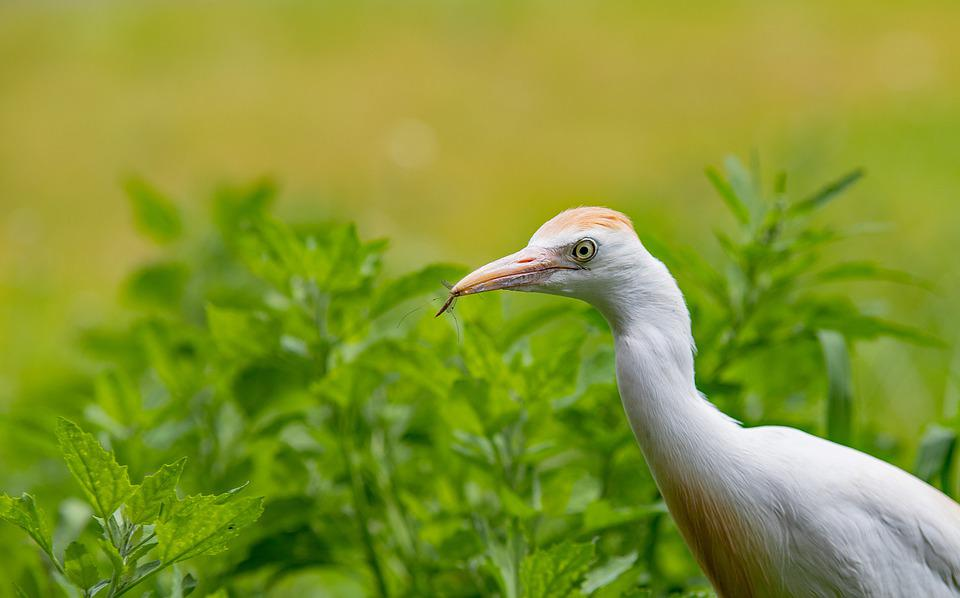 Cattle Egret, Bird, Nature, Feathers, Bite, Gaiazoo