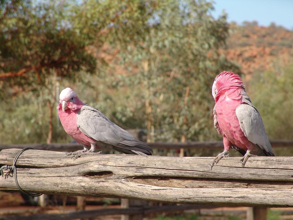 Galah, Bird, Australia, Pink