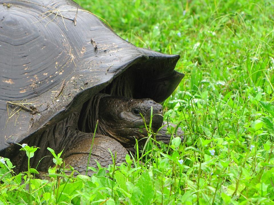 Turtle, Galapagos Island, Nature, Animals, Fauna