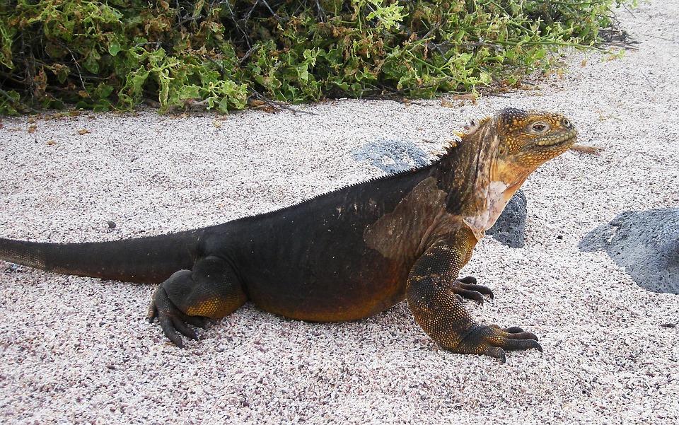 Iguana, Galapagos, Island, Reptile, Nature