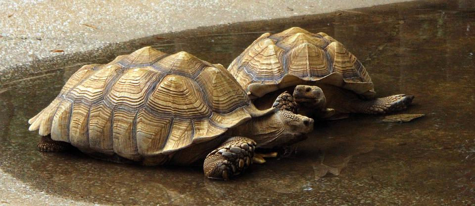 Turtles, Galapagos, Tortoise