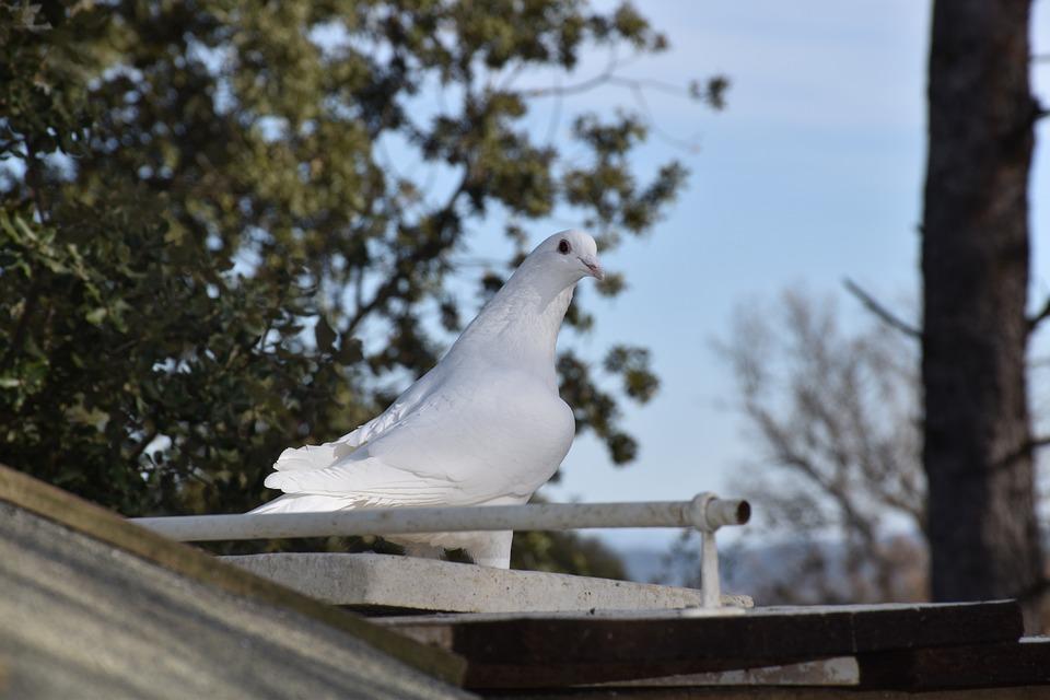Dove, Homing Bird, Pigeon, Bird, Gamefowl, Fowl
