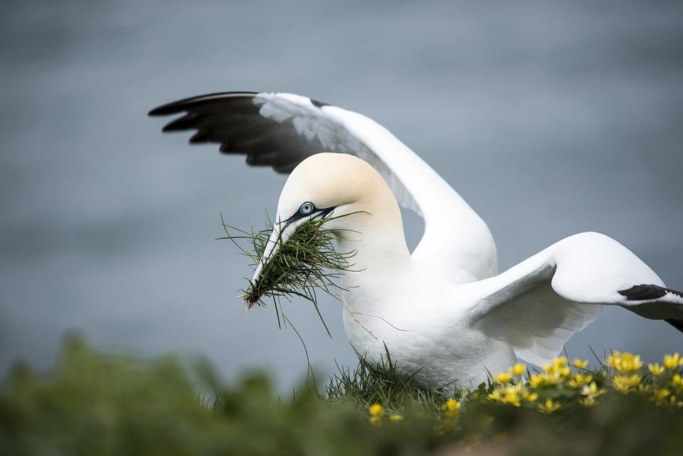 Gannet, Sea Bird, Yellow, Coast