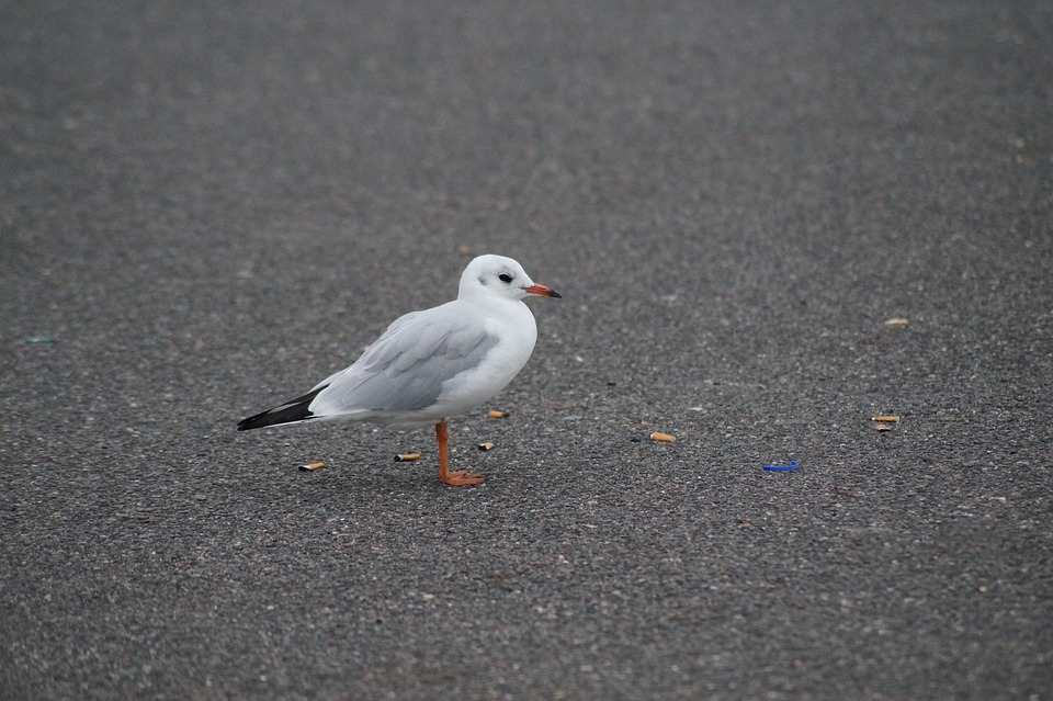 Seagull, Bird, Foraging, Cigarettes, Garbage, Waste
