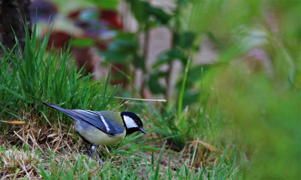 Tit, Bird, Songbird, Animal, Small Bird, Garden
