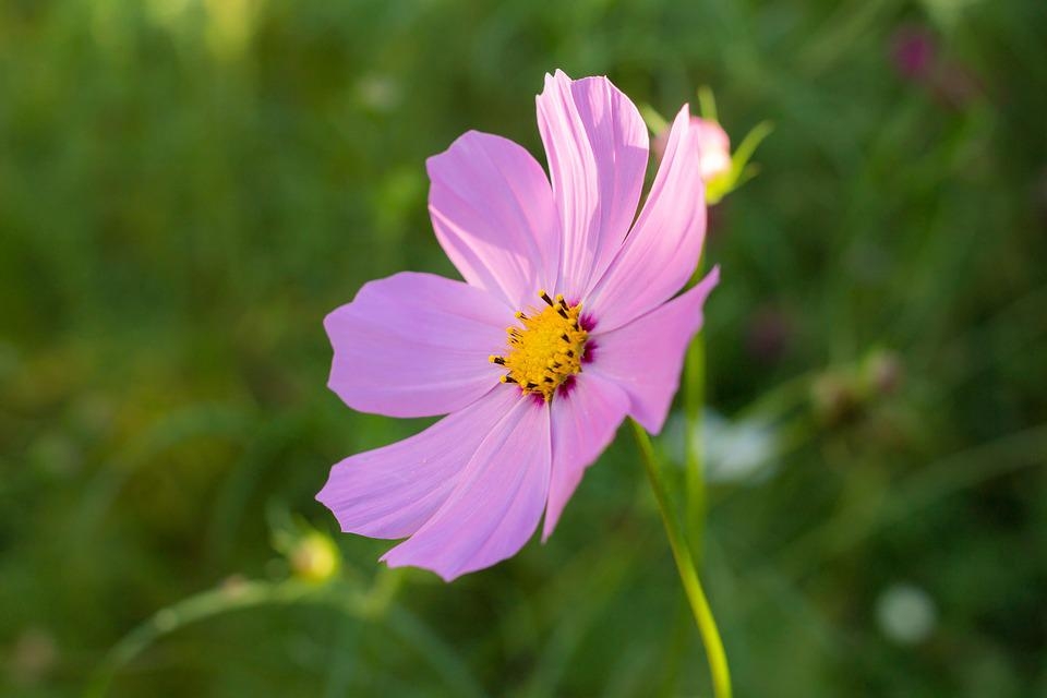 Cosmos, Astra, Flower, Pink, Large, Garden, Plant