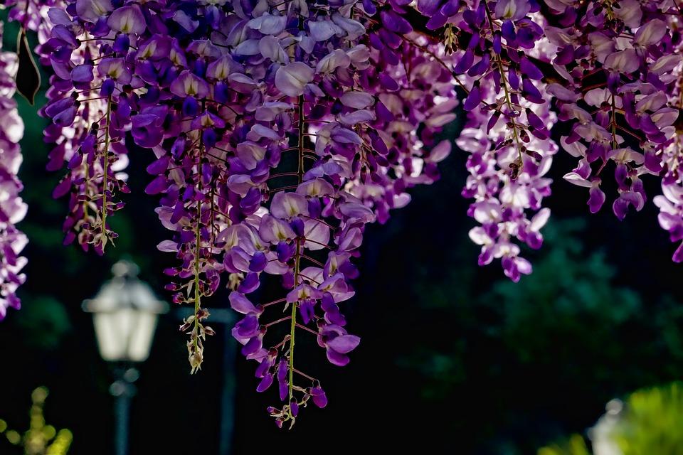 Flower, Plant, Garden, Nature, Blue Rain, Back Light