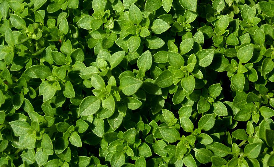 Basil, The Leaves Are, Garden, Aromatic, Plant, Natural