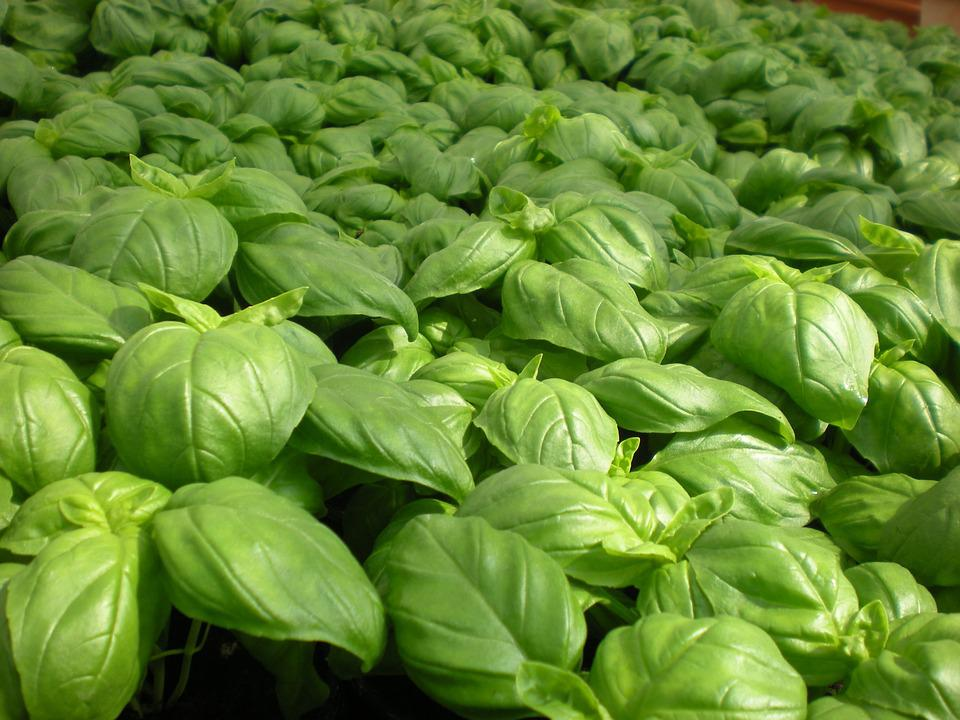 Basil, Pistou, Plants, Garden, Green, Vegetable Garden