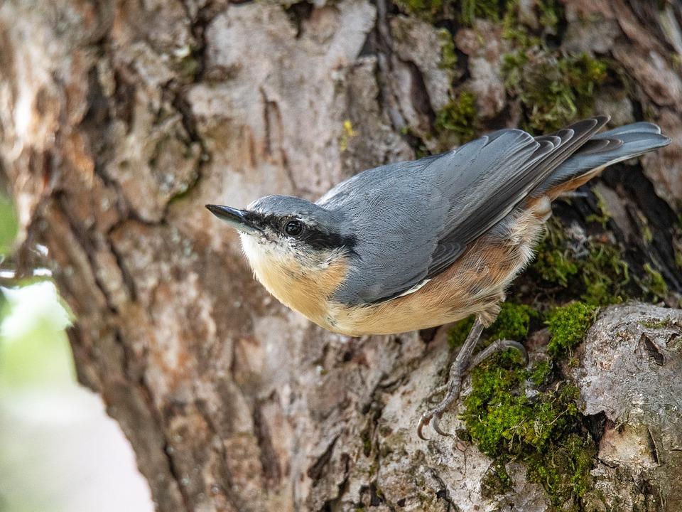 Kleiber, Bird, Garden Bird, Food, Animal World, Garden
