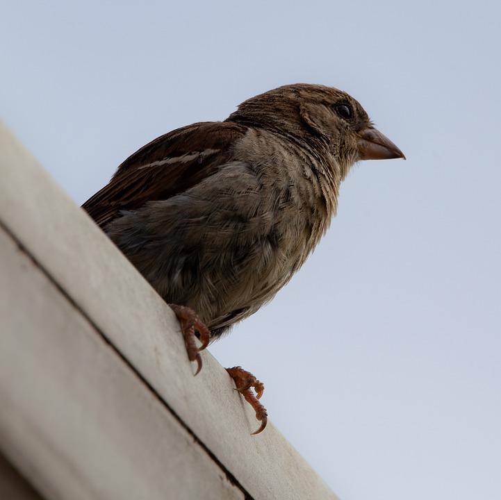 Sparrow, Garden Bird, Cute, Spring, Songbird, Beak