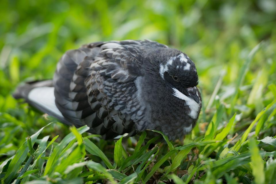 Dove, Bird, Garden