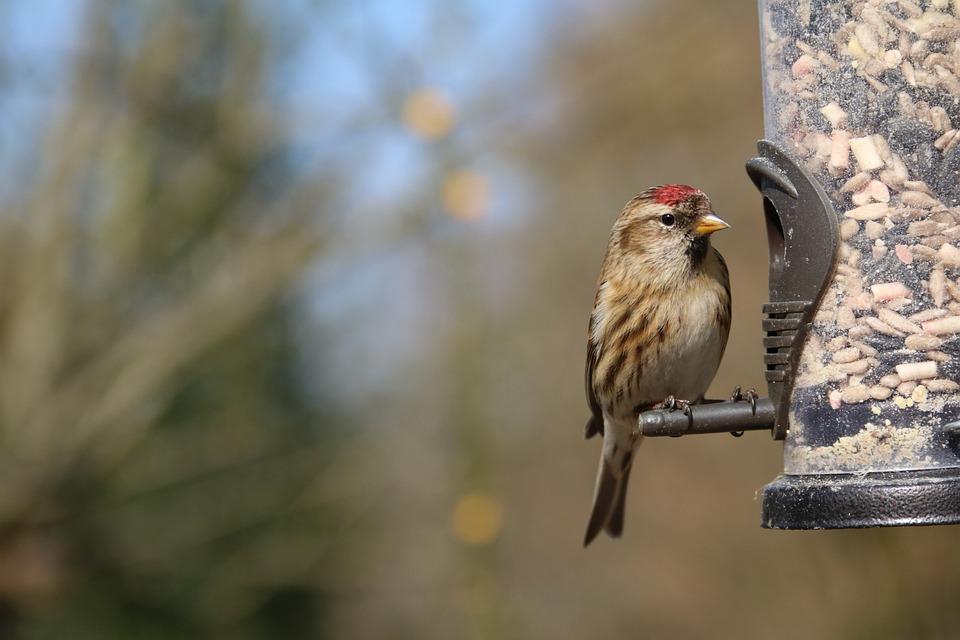 Lesser Redpoll, Redpoll, Garden Bird, Feeder, Bird