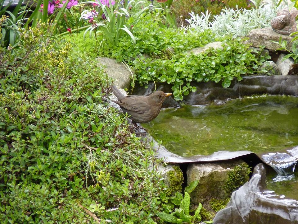 Thrush, Bird, Songbird, Garden, Pool, Water, Blackbird