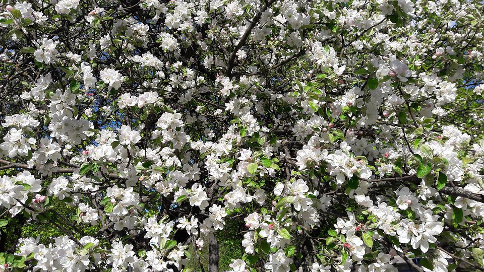Nature, Spring, Apple Tree, Garden, Bloom