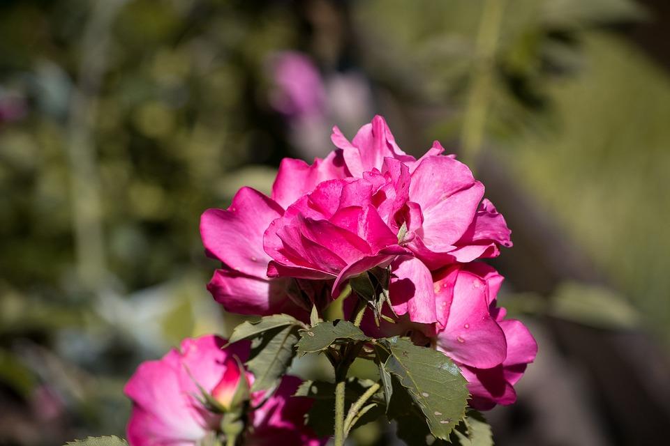 Rose, Pink, Blossom, Bloom, Open Flower, Flower, Garden
