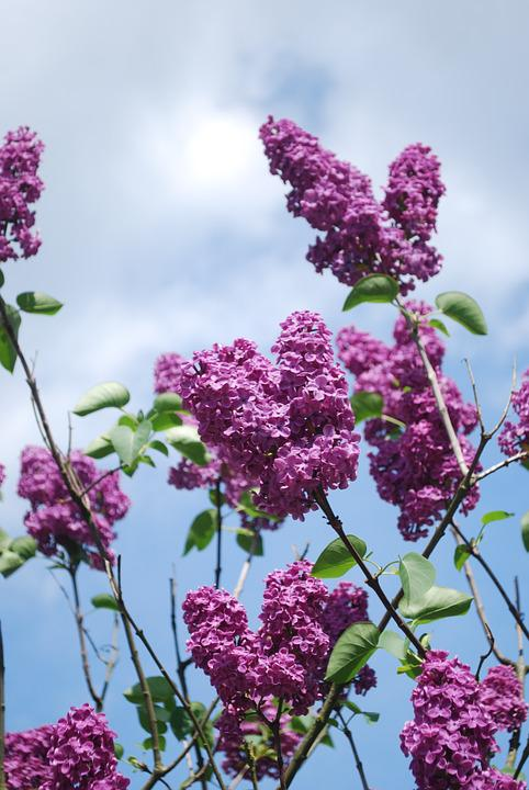 Lilac, Flowers, Lilac Branches, Plant, Garden, Bloom