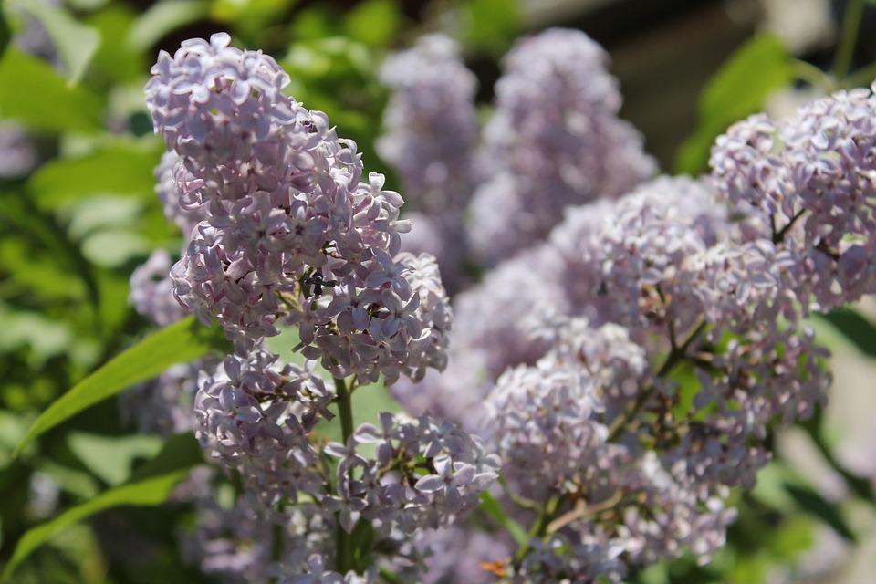 Lilac, Summer, Flowers, Bloom, Spring, Flower, Garden