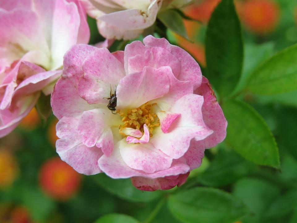 Rose, Pink, Bloom, Garden