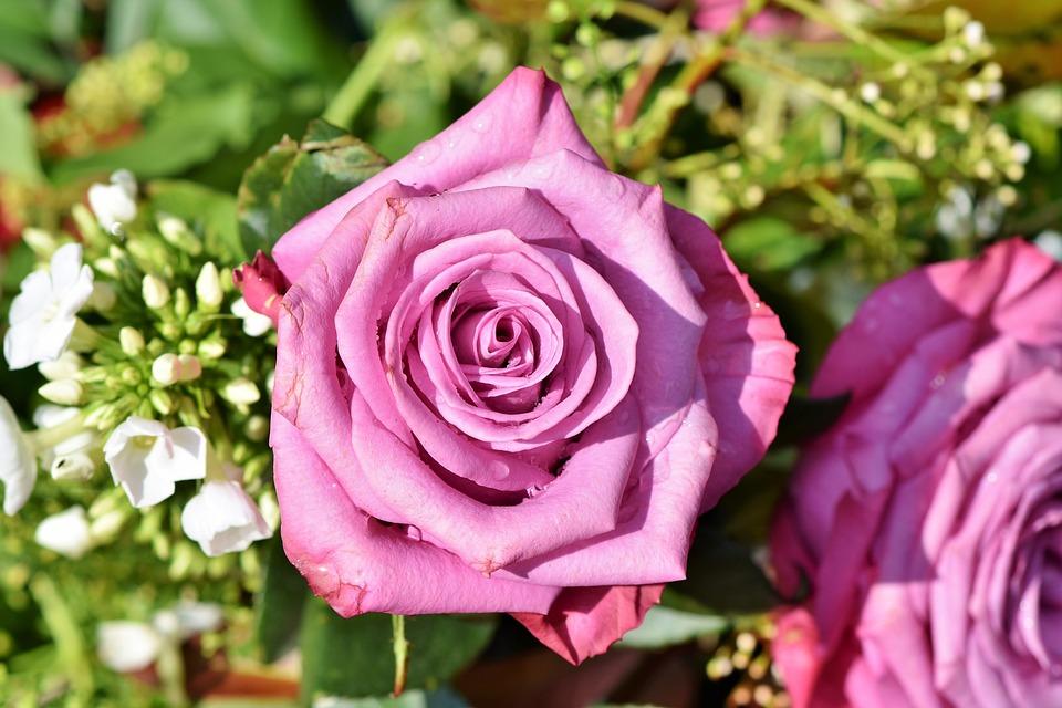 Rose, Rose Bloom, Pink Rose, Garden, Beautiful, Blossom