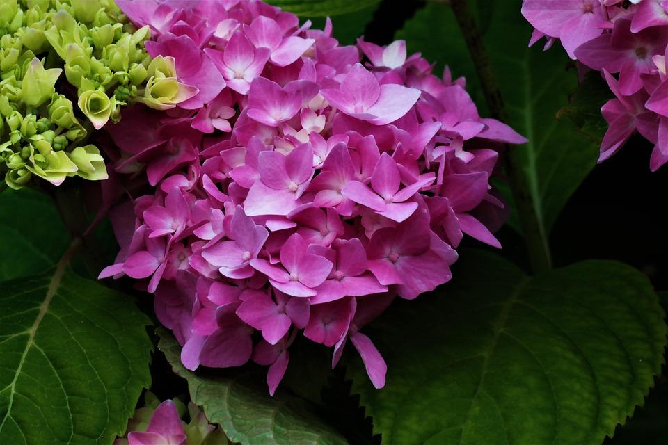 Flower, Blossom, Bloom, Pink, Hydrangeas, Garden