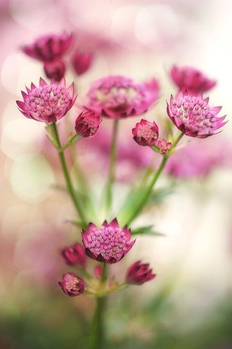 Masterwort, Flower, Blossom, Bloom, Plant, Garden