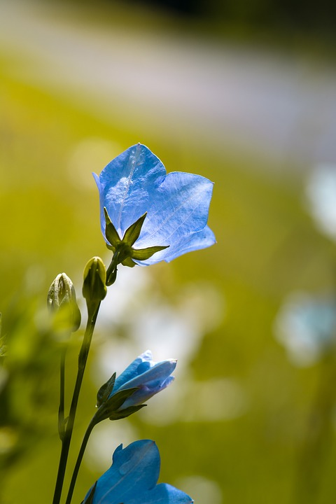 Flower, Bellflower, Blue, Blue Flower, Garden
