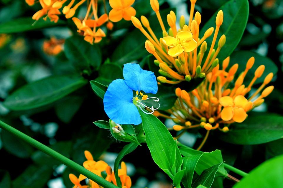 Flower Asia Douro, Weed, Flower, Blue Flower, Garden