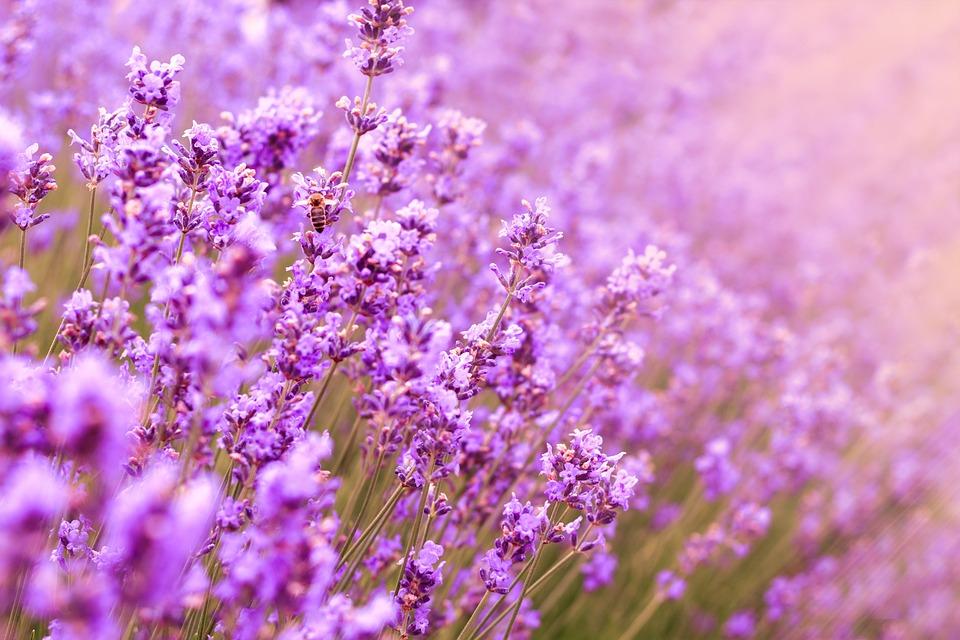 Flower, Field, Garden, Summer, Blooming, Blue, Floral