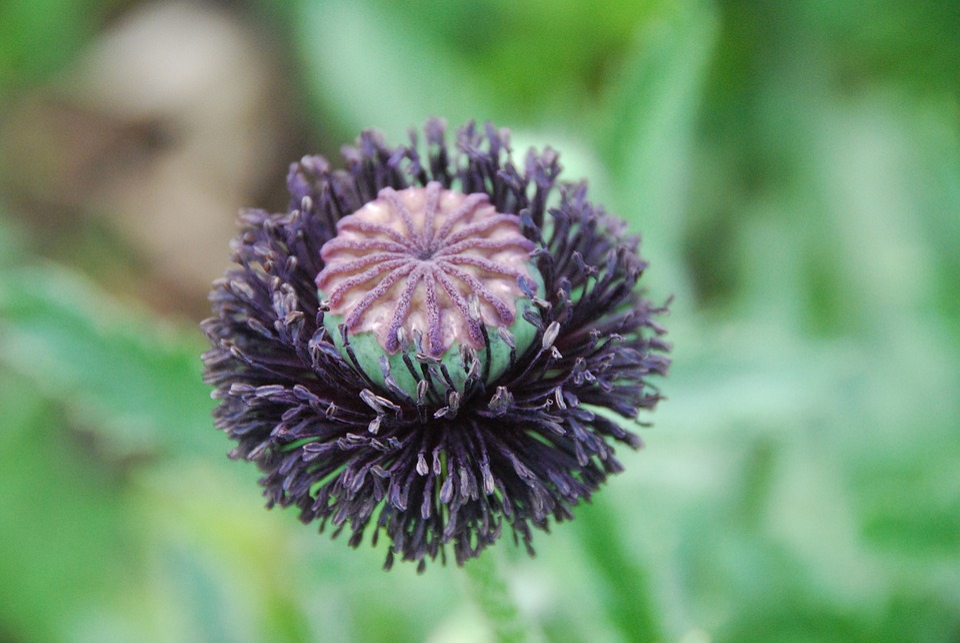 Poppy, Capsule, Poppy Capsule, Boll, Garden