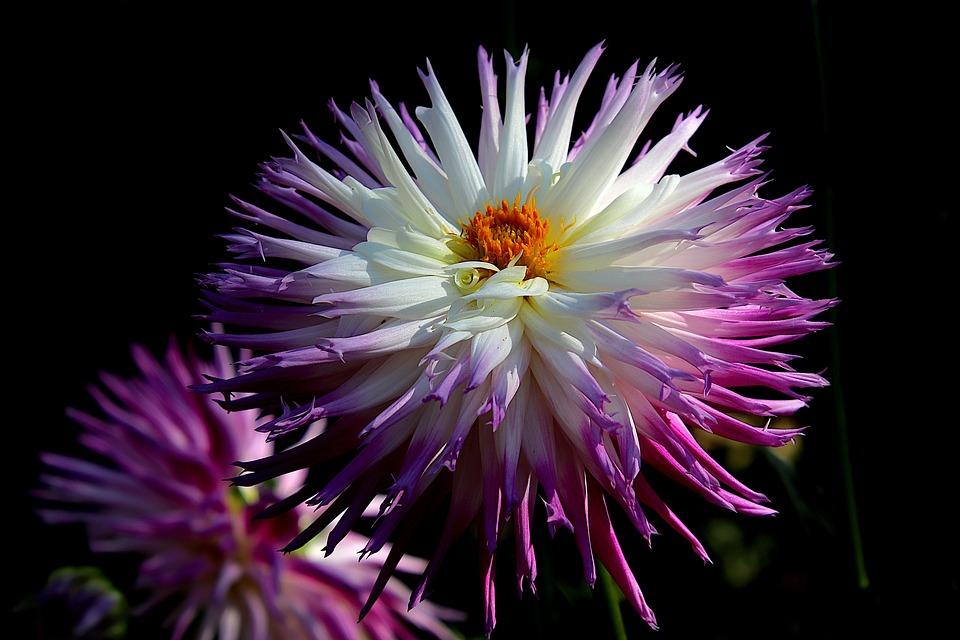 Dahlia, Flower, Garden, Horticulture, Botany, Flora