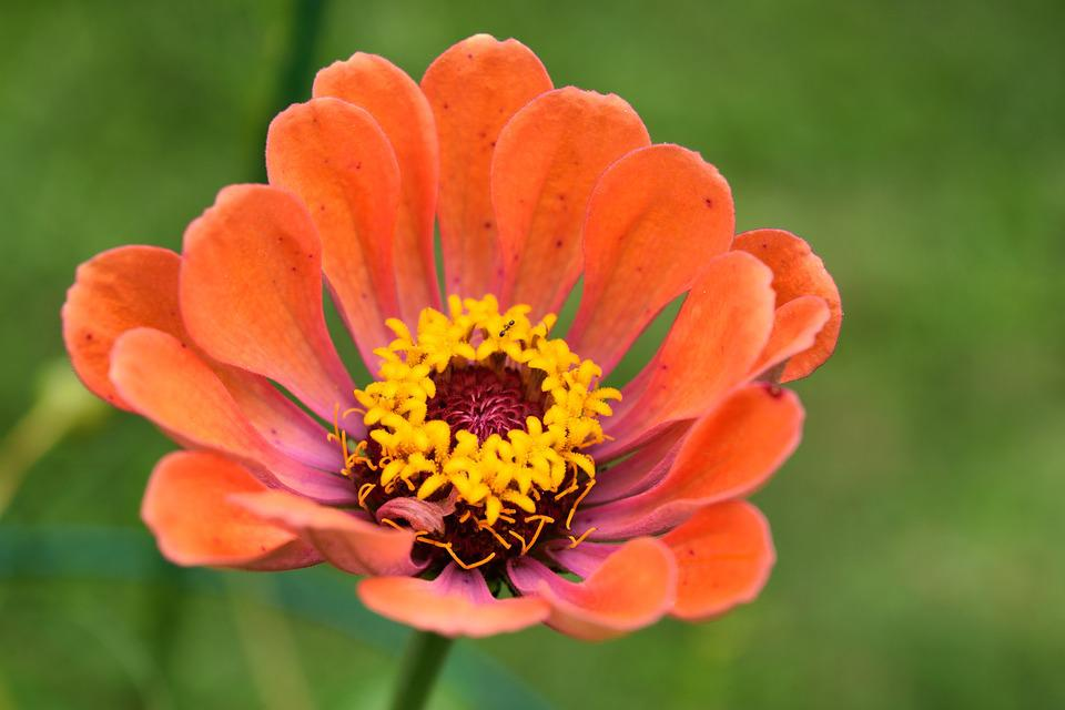 Zinnia, Flower, Bloom, Floral, Petal, Bright, Garden