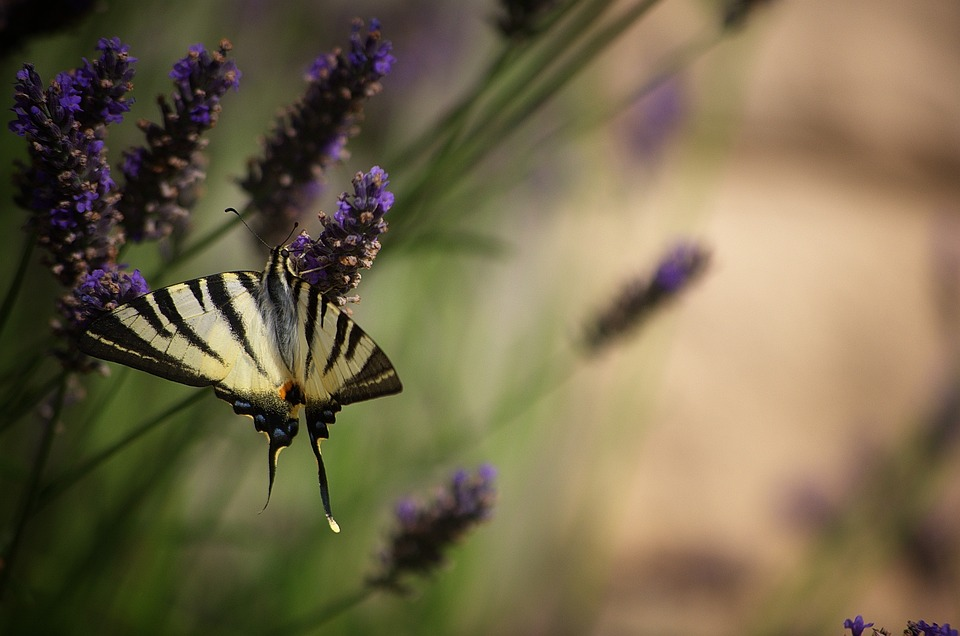 Flower, Insect, Nature, Butterfly, Plant, Garden