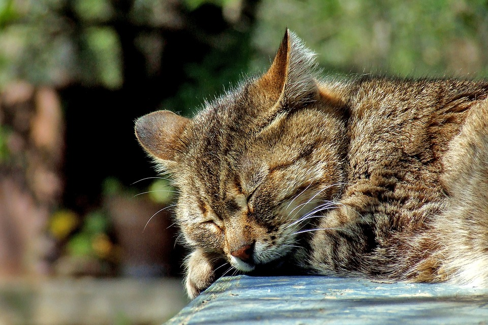 Cat, Sleeping, Garden, Domestic, Brown, Tabby, Cute