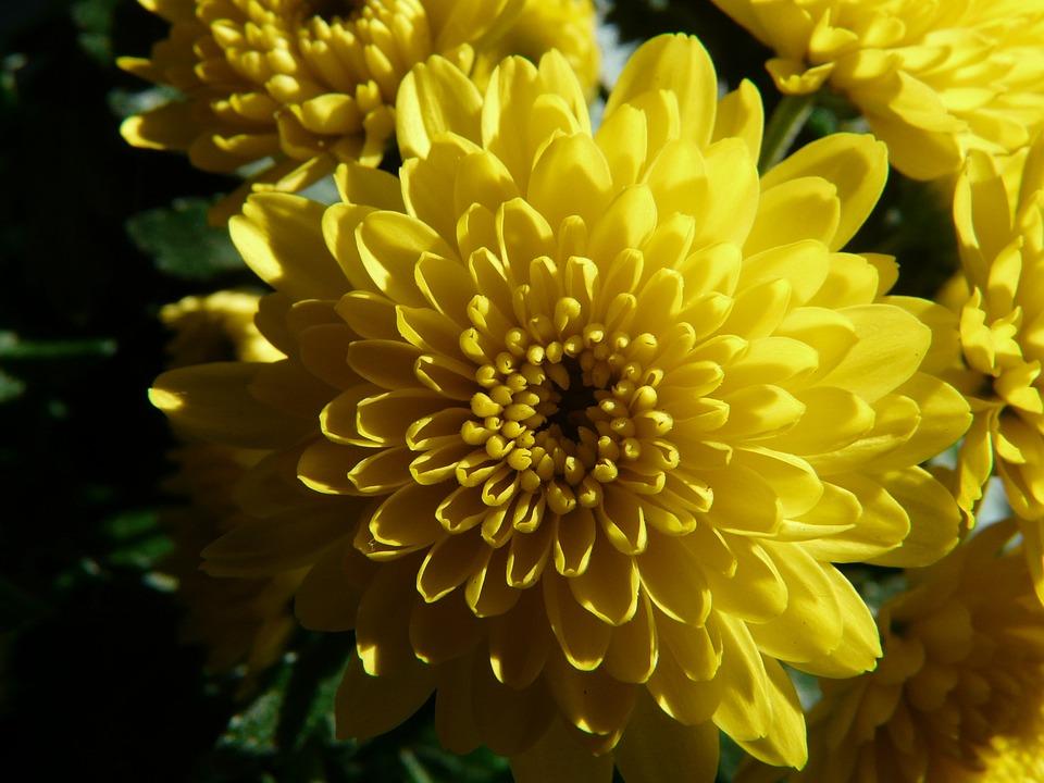 Garden Chrysanthemum, Chrysanthemum Grandifloraum