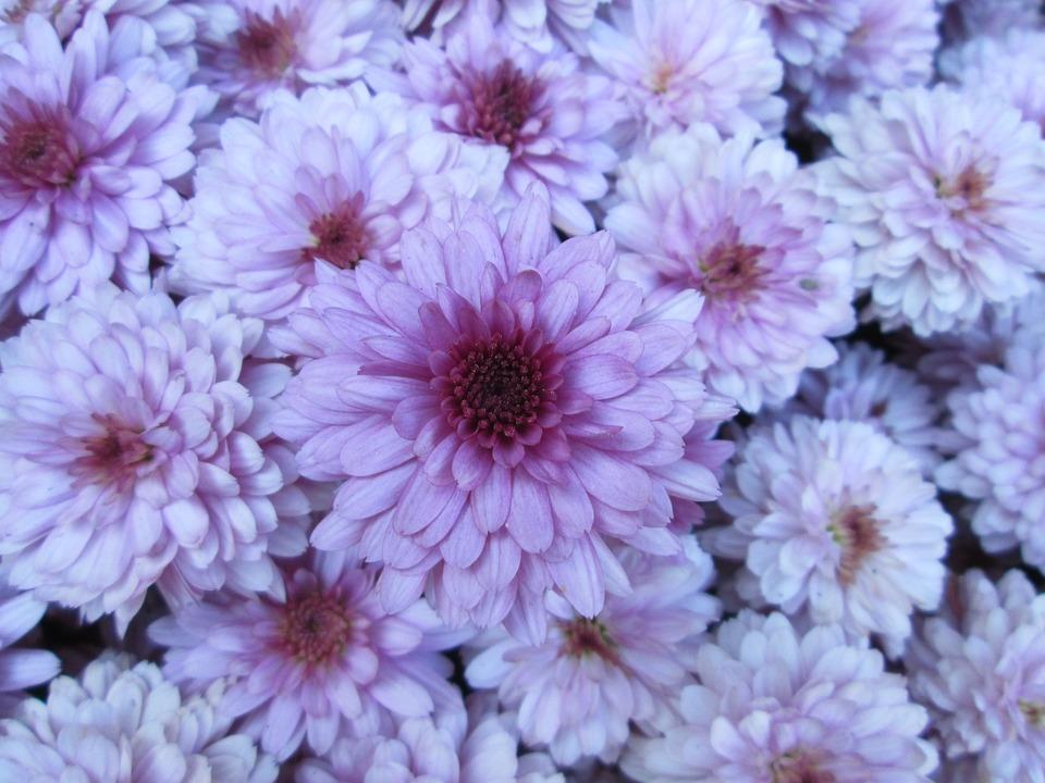 Chrysanthemum, Garden, Flower, Cluster, Purple, White