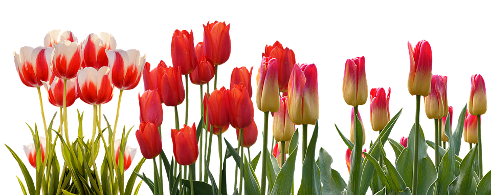 Tulip, Spring, Nature, Flower, Color, Plant, Garden