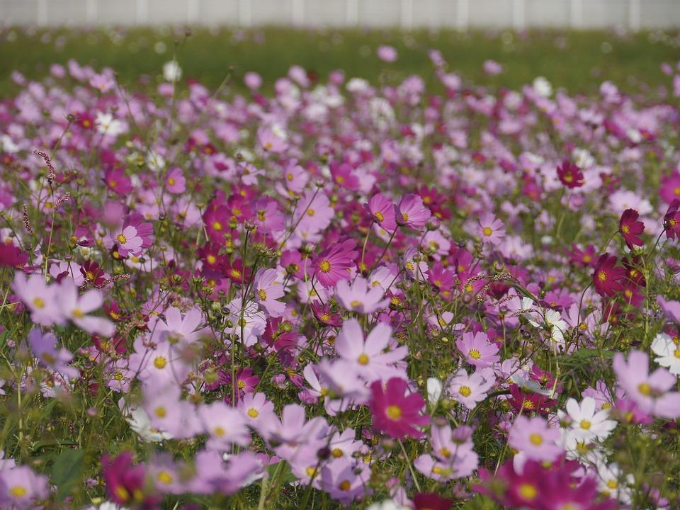 Cosmos, Flower Garden, Fantasy, Natural, Garden Cosmos