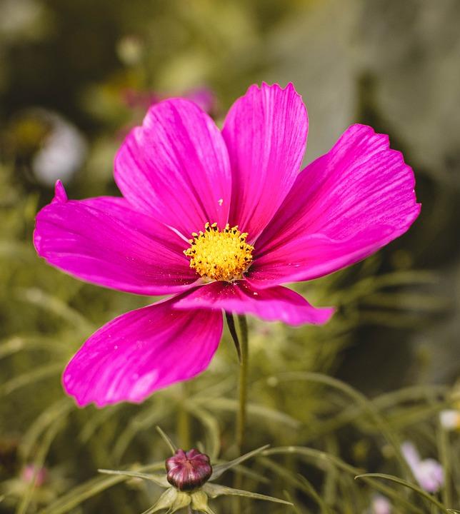 Cosmos, Garden Cosmos, Flower, Pink Cosmos, Pink Flower