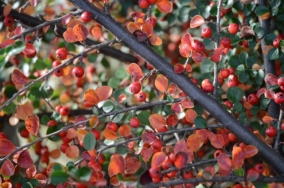 Cotoneaster, Berry, Autumn, Red, Green, Garden