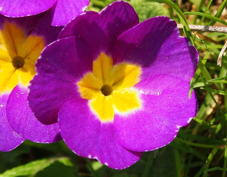 Cowslip, Purple, White, Frühlingsblüher, Spring, Garden