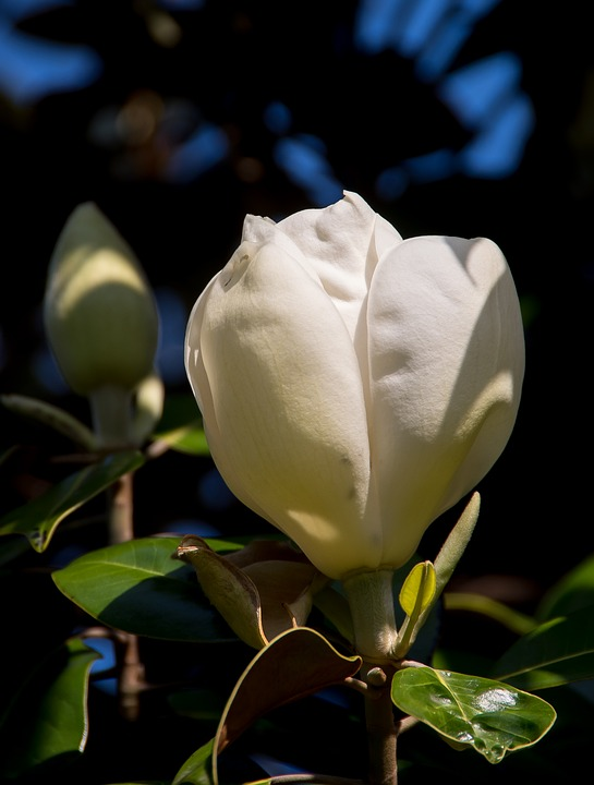 Free photo garden cream magnolia bloom single white flower max pixel magnolia flower bloom cream white single garden mightylinksfo