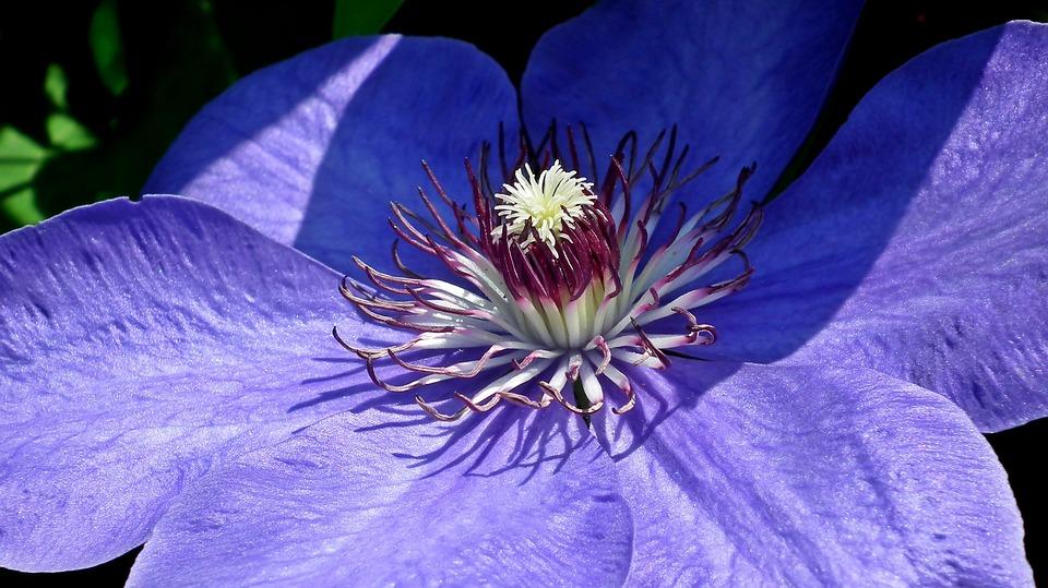 Clematis, Creeper, Flower, Garden, Beautiful, Nature