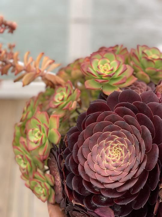 Succulent, Crystal Pier, California, Garden, Blossom